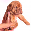 1 month old Dogue De Bordeaux puppy in female h — Stock Photo
