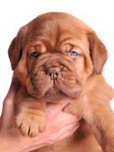 1 month old Dogue De Bordeaux puppy in female ha — Stock Photo