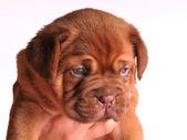 A portrait of Dogue De Bordeaux puppy — Stock Photo