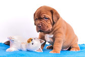 Cute Dogue De Bordeaux puppie is sitting near wo — Stock Photo