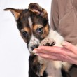 Two month old three coloured puppy — Stock Photo #2991136