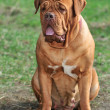 Stock Photo: Big Dogue De Bordeaux