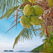 Coconuts on a palm — Stock Photo