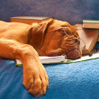 Sleeping Dog — Stock Photo #3061608