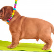 One month old Dogue De Bordeaux puppy is standin — Stock Photo