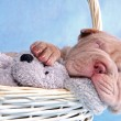 Puppy Sleeping in Basket — Stock Photo #3063541