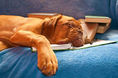 Sleeping Dog — Stock Photo