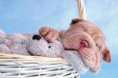 Puppy Sleeping in Basket — Stock Photo