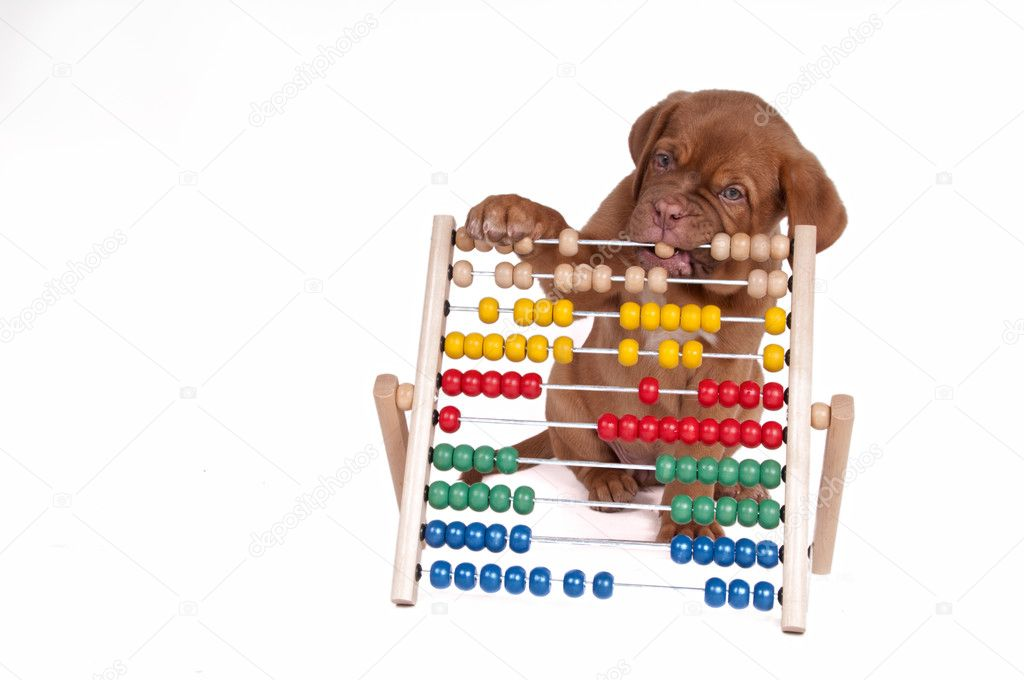 Puppy is learning to count with Abacus — Stock Photo #3207044