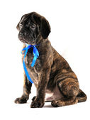 Puppy with Ribbon — Stock Photo