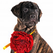 Proud Puppy with a Flower — Stock Photo