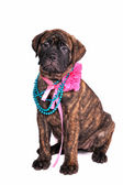 Glamour Puppy — Stock Photo