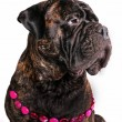Female Bullmastiff — Stock Photo