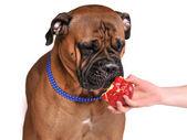Hund provsmakning apple — Stockfoto
