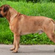 Royalty-Free Stock Photo: Champion Bullmastiff