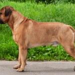 Champion Bullmastiff — Stock Photo