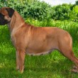 Big Dog on Grass Background - Stok fotoğraf