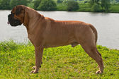 Champion Bullmastiff in Ideal Standing — Stock Photo