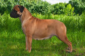 Big Dog on Grass Background — Stock Photo