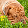 Dog asleep — Stockfoto