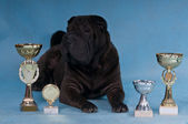 Champion Shar-Pei — Stock Photo