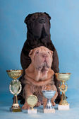 Two Champion Shar-pei — Stock Photo