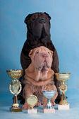 Two Champion Shar-pei — Stock Photo