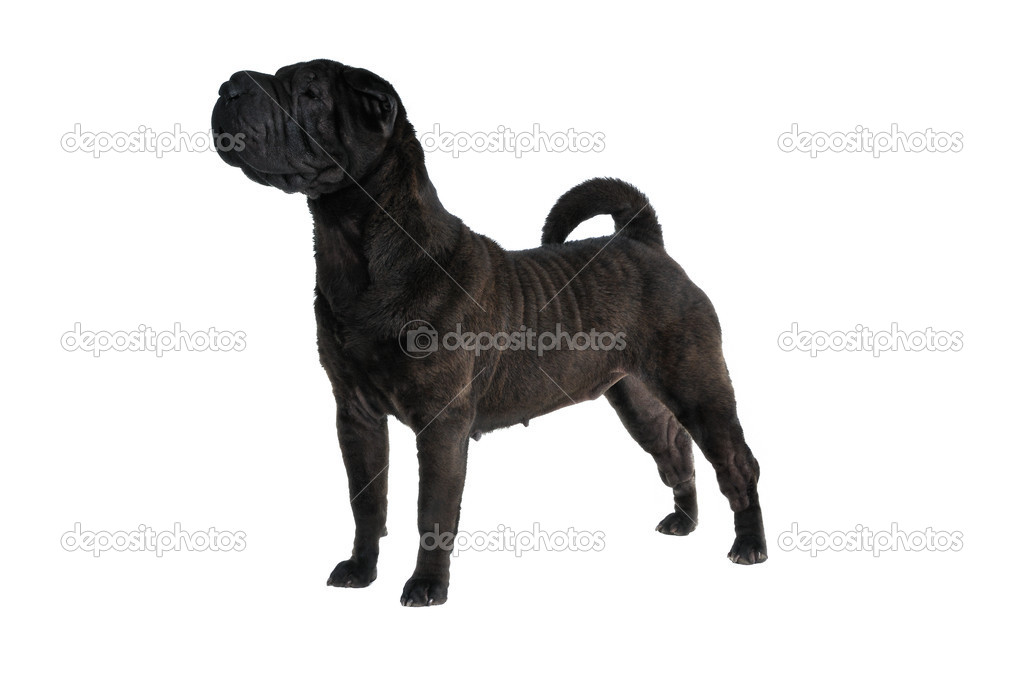 Fine Show Stack of a champion Shar-Pei — Stock Photo #3367755