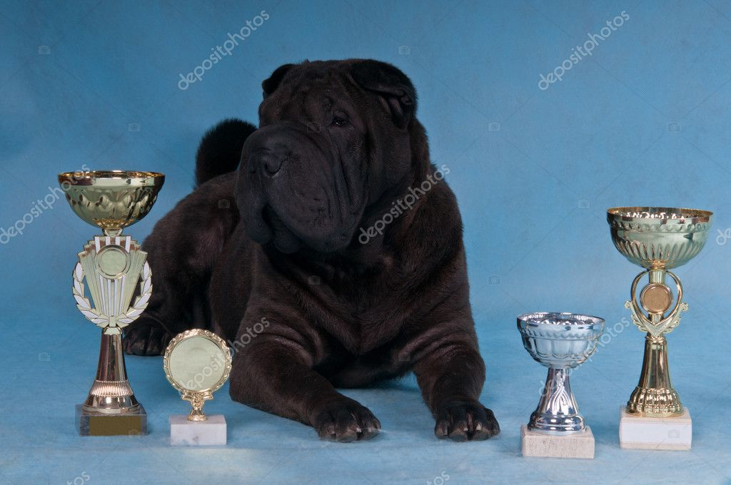 Proud multi-champion Shar-pei dog lying down — Stock Photo #3367758