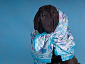 Dog in Headscarf — Stock Photo