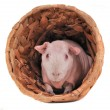 Cavy in a shelter — Stock Photo