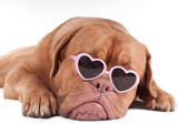 Dog with sunglasses — Stock Photo