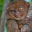 Royalty-Free Stock Photo: Little tarsier