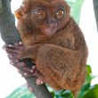 Tarsier on branch — Stock Photo #3616026