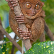 Scared tarsier on a tree — Stock Photo