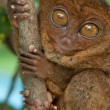 Tarsier holding a branch — Stock Photo
