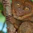 Tarsier holding branch — Stock Photo #3616048
