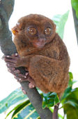 Tarsier on a branch — Stock Photo