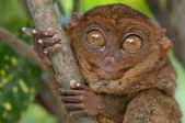 Little tarsier — Stock Photo