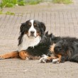 Shepard collie - Stockfoto