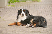 Shepard collie — Stock Photo