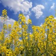 Stock Photo: Rape flower