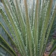 Cycas budding — Stock Photo #3208663