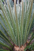 Cycas budding — Stock Photo