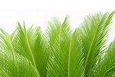 Cycas leaf — Stock Photo