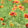 Plains coreopsis — Stock Photo #3403935