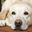 Yellow Lab Resting on Patio — Stock Photo #2844372