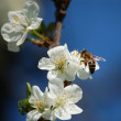 Cherry-flowers with a nice little bee an — Stock Photo #2713833