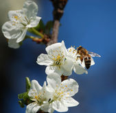 Cherry-flowers with a nice little bee an — Stock Photo
