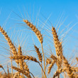Wheat - Stock Photo